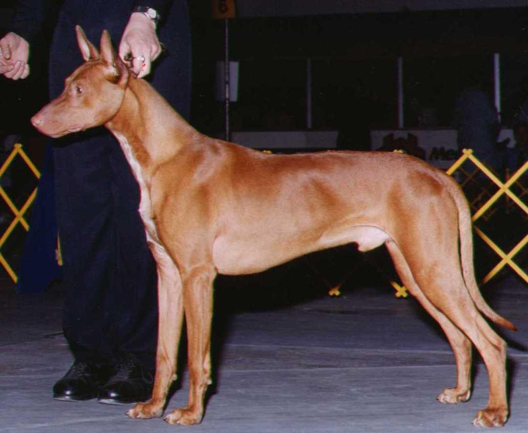 pharoahhound.jpg